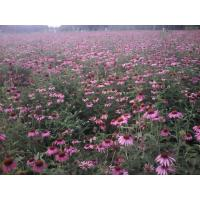 China Echinacea purpurea extract,Echinacea purpurea on sale
