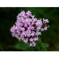 Thyme Extract 10:1  TLC antibacterial, and stop itching, alleviate stress