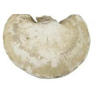 Buy cheap Piptoporus Betulinus;Birch Bracket Mushroom, Kanbatake;Hua bo guan jun,health and wild mushroom,organic,natural food product