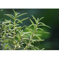 Buy cheap Natural and pure Rosemary Essential Oil from Rosmarinus officinalis L product