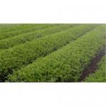 Buy cheap Tea extract  and Tea powder product