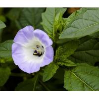 Buy cheap Apple of Peru Nicandra physaloides seeds for food and planting jia suan jiang product
