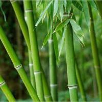 China Bamboo Extracts, Can Improve the Condition of Hair and Skin wholesale