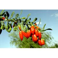 wolfberry plants for sale
