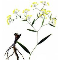 Buy cheap Bupleurum chinense DC. dried root product