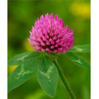 China Wholesale Echinacea Herb Extracts, Echinacea Herb Powder on sale