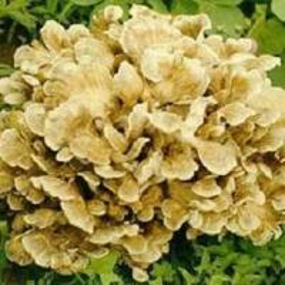 China Maitake Mushroom Extract Powder(Grifola Frondosa) on sale