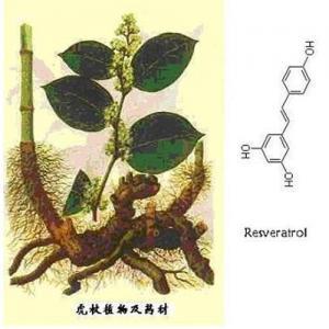 Extracto knotweed gigante 20%-98%Resveratrol