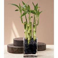 straight lucky bamboo (House flower arranging plants)