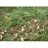 Quality Dried Lily root Lilium brownii var viridulum bulb tuber without sulphur raw for sale