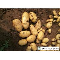 Buy cheap Delicious Fresh Potato Can Used As A Vegetable Or As A Staple Food product