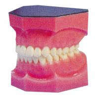 China Amplified dental teeth model for Internship and Medical Students Training on sale