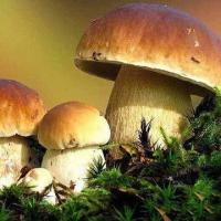 Quality Boletus Edulis, Available in Fresh/Dried/Sliced/Frozen Types for sale