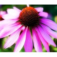 China Echinacea Herb Extract on sale