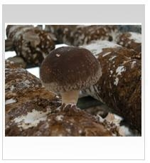 Quality Shiitake Logs for sale
