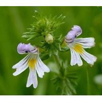 Buy cheap Proportional Extracts :Eyebright Herb extract product