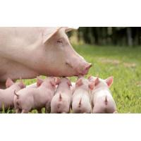 Enzyme preparation Complex enzyme for pig