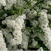 Shrubs Spiraea Arguta (Bridal Wreath)
