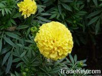 Buy cheap Marigold Flower Extract. product