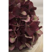 Buy cheap Hydrangea from wholesalers