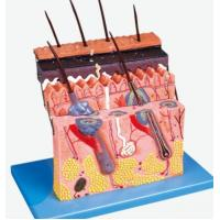 Buy cheap Human Systems An Skin Section product